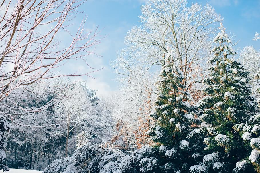 A scenic, forest landscape of evergreen trees laden with winter snow.